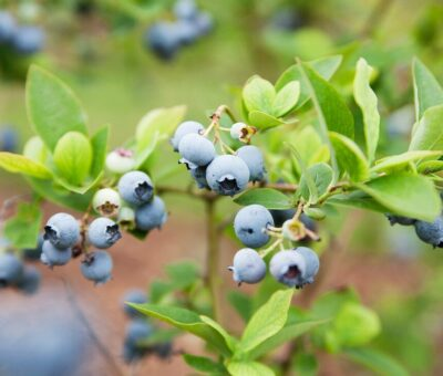 Frozen or fresh blueberries are healthier and why?
